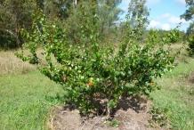 Limeberry-fruit-tree