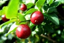 Limeberry-fruit