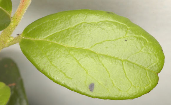 Dorsal-View-of-Leaf