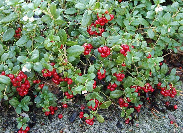 Lingonberry-Plant