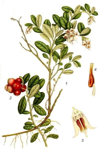 Plant-Illustration-of-Lingonberry-plant
