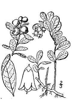 Sketch-of-Lingon-Plant