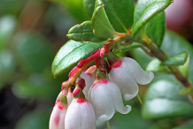 Flower-of-Lingonberry-plant