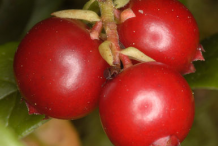 Fruit-of-Lingonberry-plant