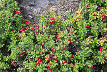 Lingonberry-growing-wild