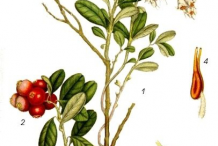 Plant-Illustration-of-Lingonberry-plant