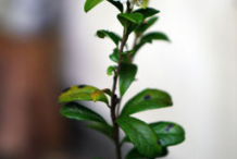 Small-Lingon-berry-plant