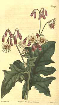 Plant-illustration-of-Lions-Foot-plant