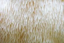 Closer-view-of-Lion's-mane-mushroom