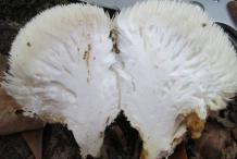 Half-cut-Lion's-mane-mushroom