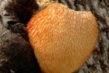 Mature-Lion's-mane-mushroom