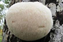 Round-shaped-Lion's-mane-mushroom