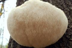 Lion's-mane-mushroom-on the tree