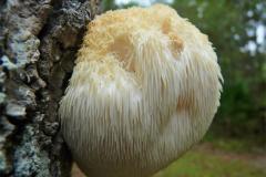 Lion's-mane-mushroom