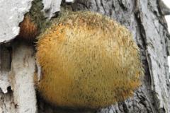 Matured-Lion's-mane-mushroom