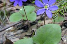 Liverworts-Plant