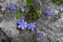 Liverworts-plant-growing-on-stone