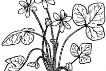 Sketch-of-Liverworts-plant