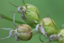 Lobelia-Fruit