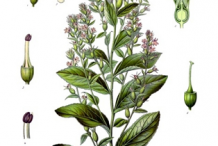 Lobelia-plant-Illustration