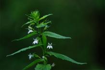 Lobelia-plant