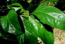 Lobi-Lobi-leaves