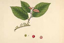 Lobi-Lobi-plant-illustration