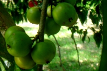 Unripe-fruits-of-Lobi-Lobi
