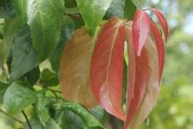 Young-leaves-of-Lobi-Lobi