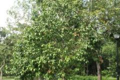 Lobi-Lobi-tree