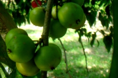 Unripe-fruits-of-Lobi-Lobi