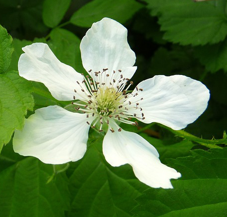 Flower-of-Loganberry