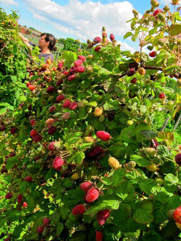 Loganberry-farming