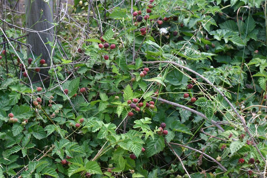 Loganberry-growing-wild