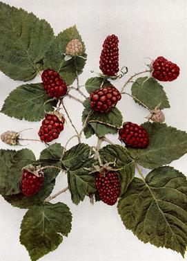 Plant-Illustration-of-Loganberry