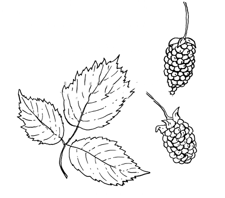 Sketch-of-Loganberry