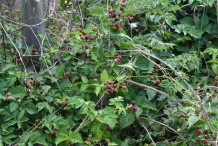 Loganberry-growing-wild