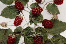 Plant-Illustration-of-Loganberry