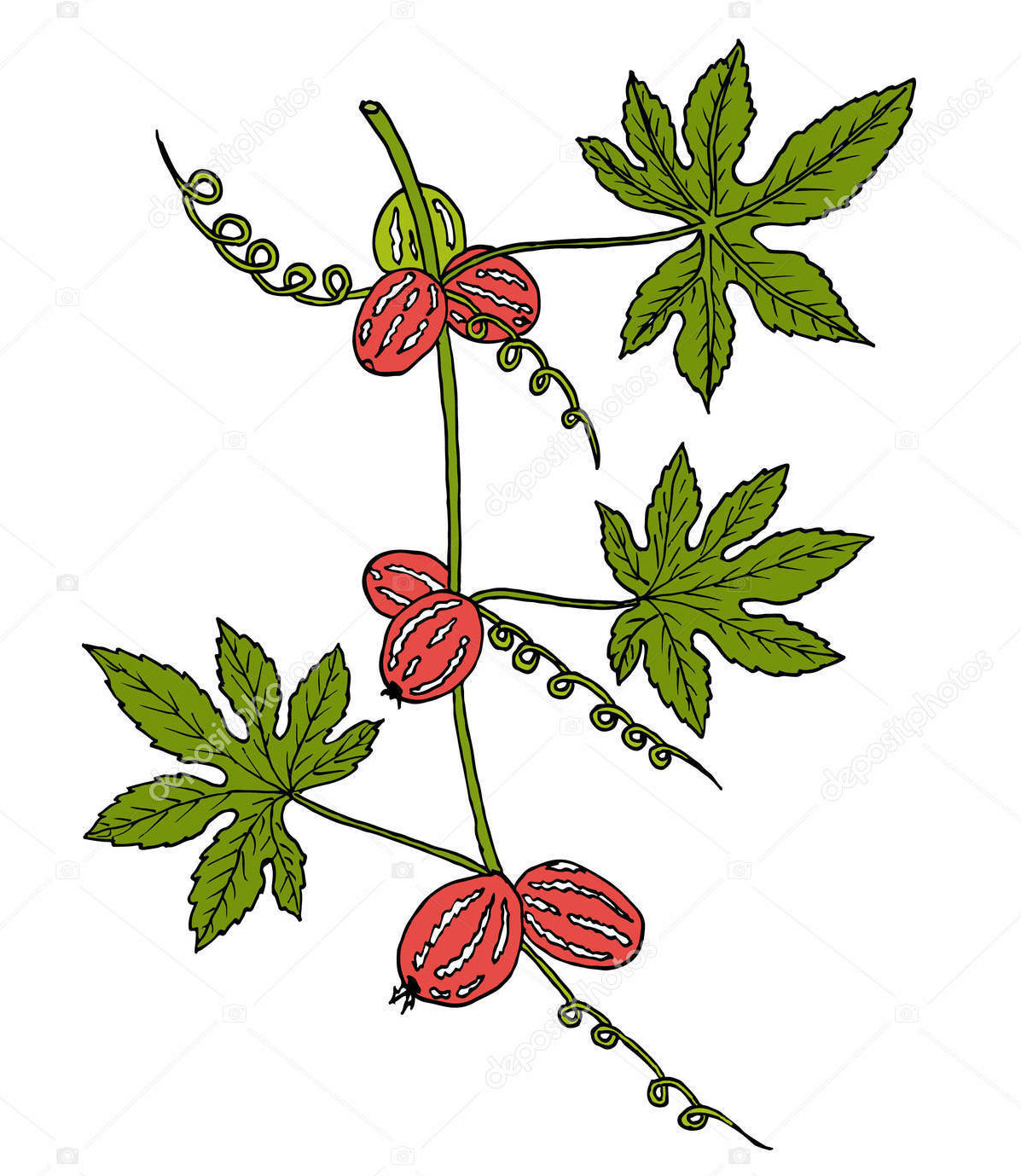 Plant-Illustration-of-Lollipop-climber-plant