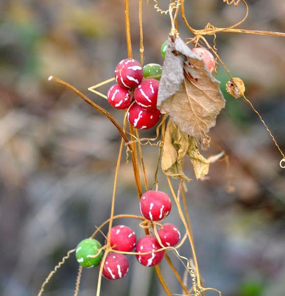 Ripe-Lollipop-climber-fruits-on-dried-plant