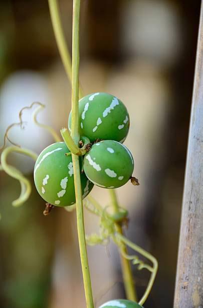Unripe-fruits-of-Lollipop-climber-plant