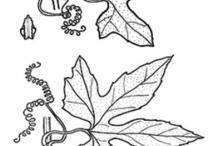 Sketch-of-Lollipop-climber-plant