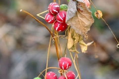 Ripe-Lollipop-climber-fruits-on-dried-plant