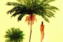 Long-jack-plant-illustration