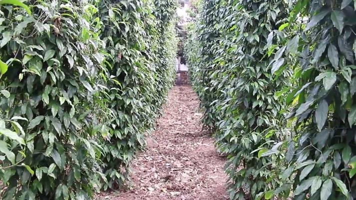 Long-Pepper-farming