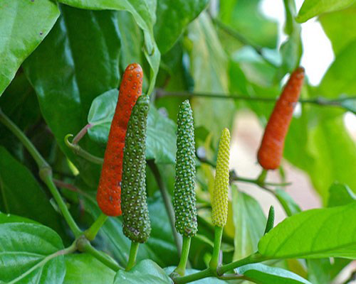 Long-Pepper-on-the-plant