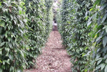 Long-Pepper-farming