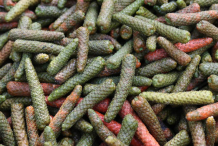 Long-Pepper-harvested