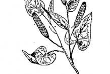 Sketch-of-long-Pepper