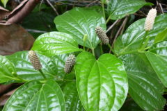 Leaves-of-Long-Pepper